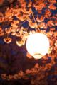 [桜][夜桜][提灯]夜桜と提灯