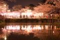 [桜][夜桜][リフレクション]夜桜リフレクション