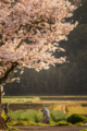 [桜][畑][夕焼け]桜の下で