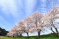 [桜][桜並木][空]超広角(補正)