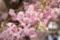 [桜][三多気][八重桜]
