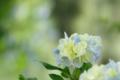 [紫陽花][花]背景に溶け込みつつあるあじさい