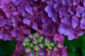 [あじさい][紫陽花][花]濃い