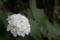 [あじさい][紫陽花][花]