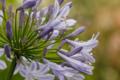 [花][アガパンサス][紫君子蘭]濡れてる