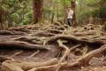 [鞍馬寺]木の根路