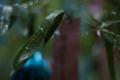 [京都][貴船神社][七夕]雨に濡れて