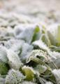 [冬][朝][霜]朝霜