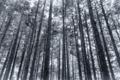 [雪][森][森林][冬][モノクロ]厳冬の森