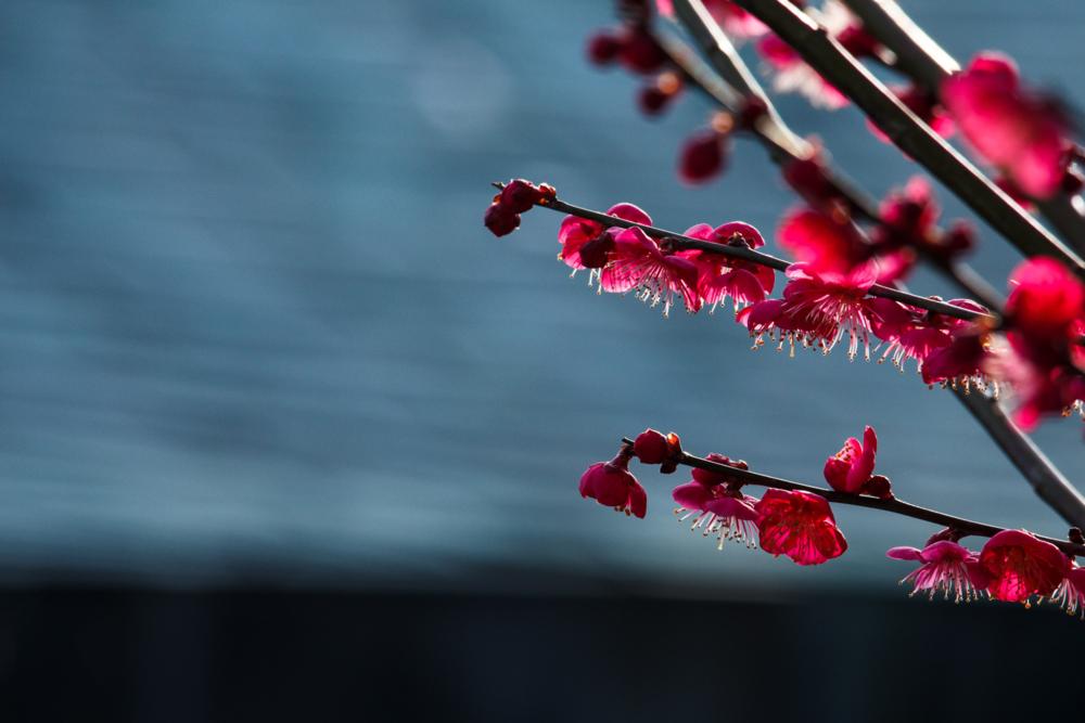 こんないい花を見ると漢詩の一つも引用したくなる