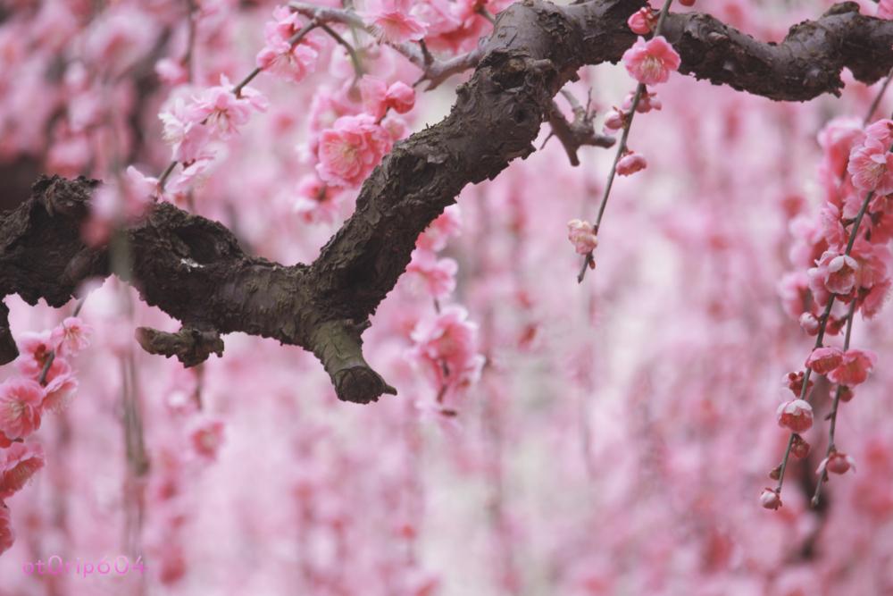 しだれ梅の枝はまるで日本画のように力強い