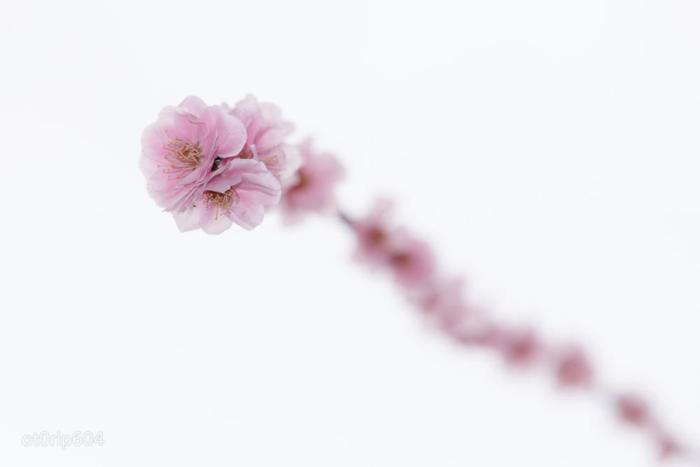 ストロボで撮った梅の写真