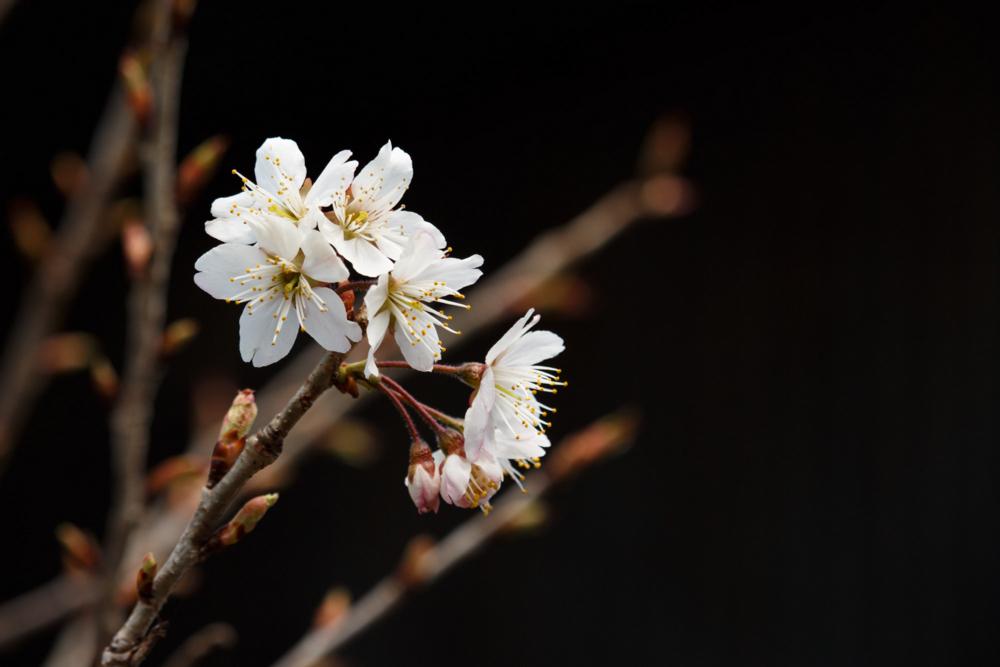 シナミザクラの花