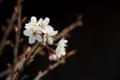 [桜][シナミザクラ]香り立つ春の訪れに