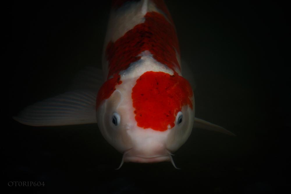 伊勢神宮の鏡池の鯉