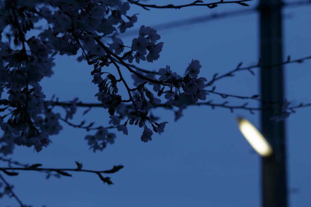 桜はとても身近にあるノスタルジー