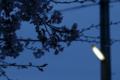 [桜][街灯]薄暮の桜