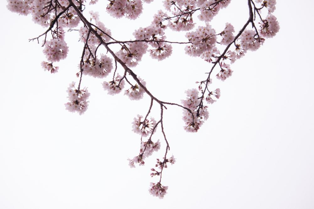 私は桜について何も知らない