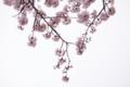 [桜]Sakura Sakura