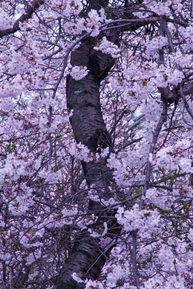 桜の見てきた数多くの人生に思いをはせる