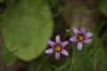 [花][庭石菖]
