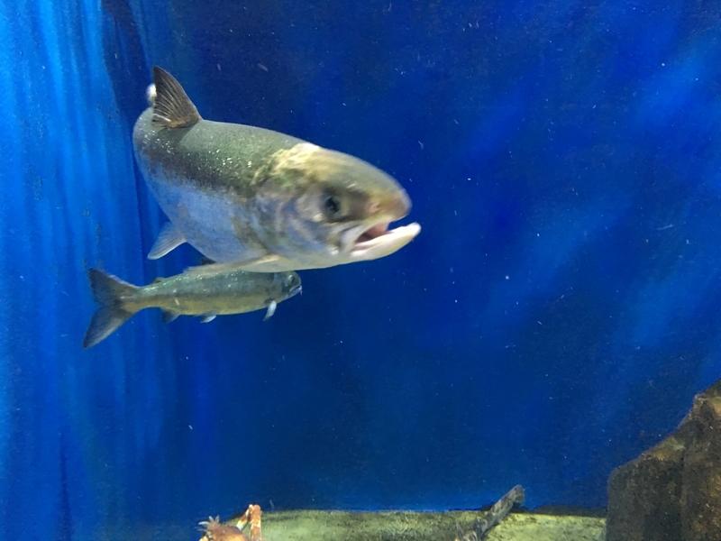 サケの成魚