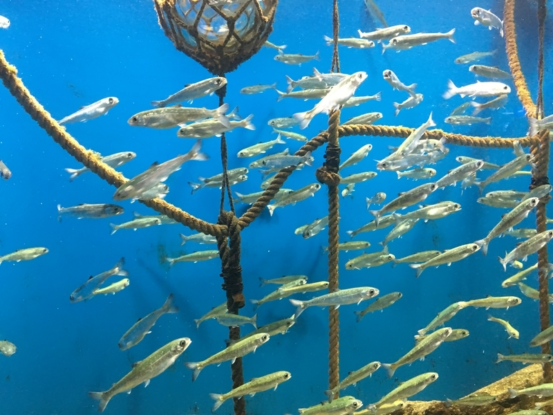 サケの稚魚
