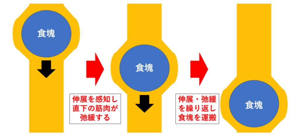 蠕動運動の仕組み(図解)
