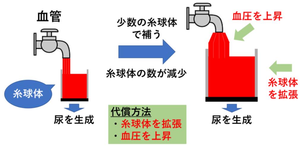 糸球体の代償性機構(図解)