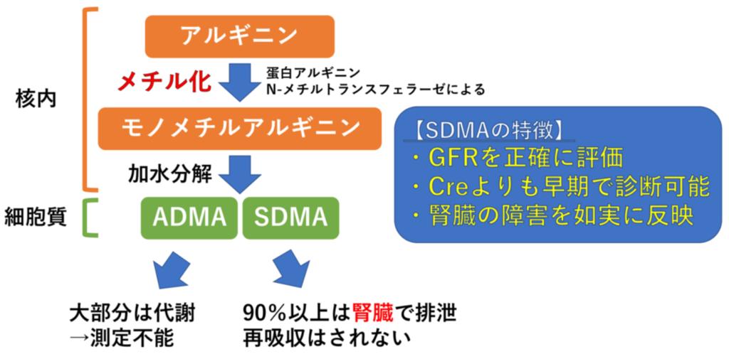 SDMA(対称性ジメチルアルギニン)について(図解)