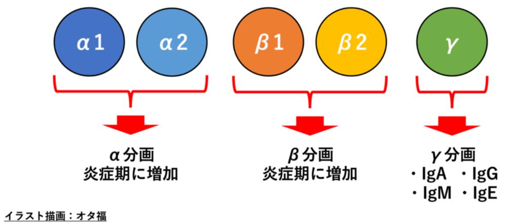 グロブリンの分画(図解)