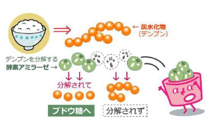 糖の分解・吸収をカット