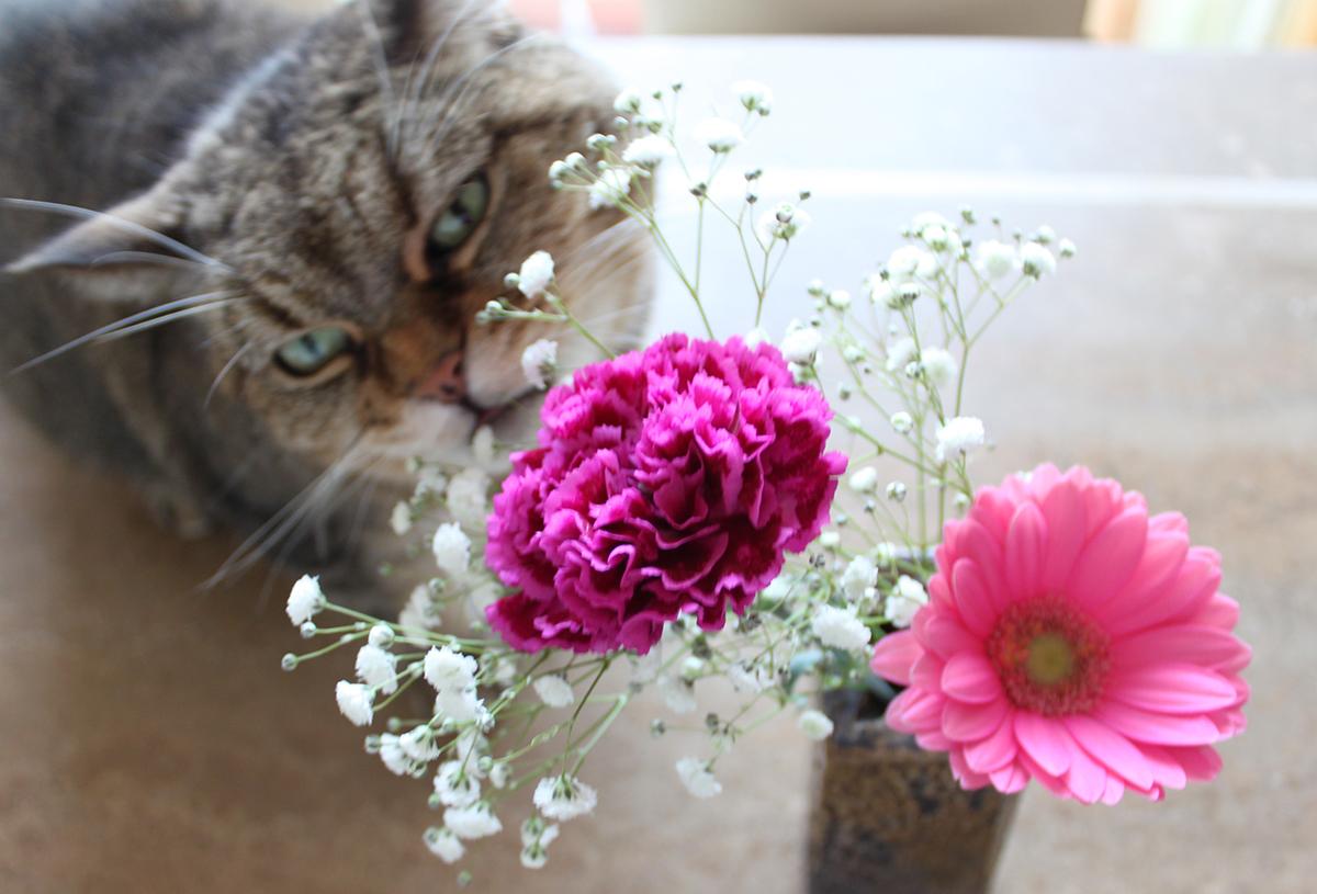 カスミソウが好きな猫