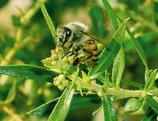 ミツバチとアレクリン