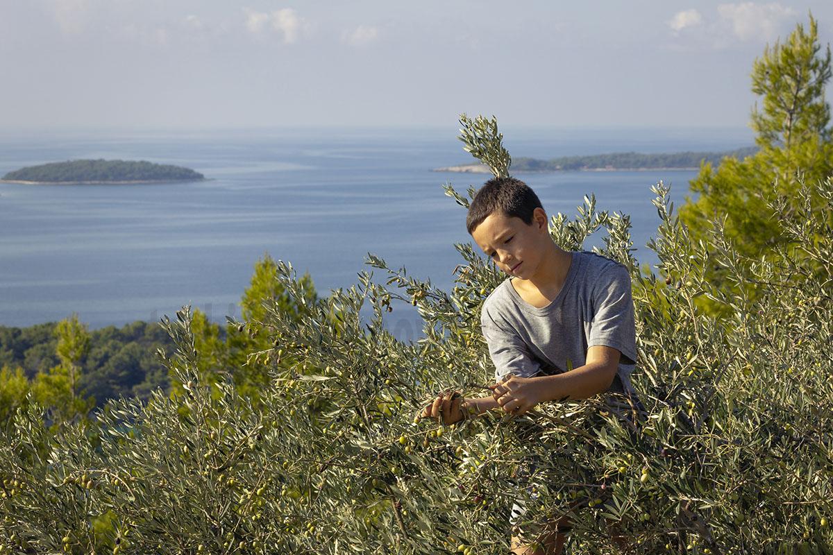 クレタ島のオリーブ