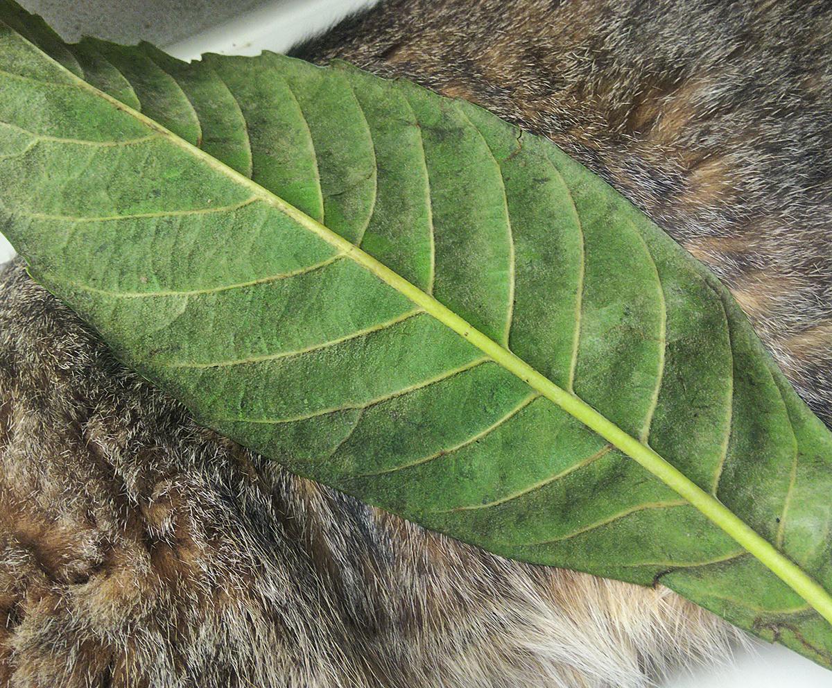 猫にあてた枇杷の葉