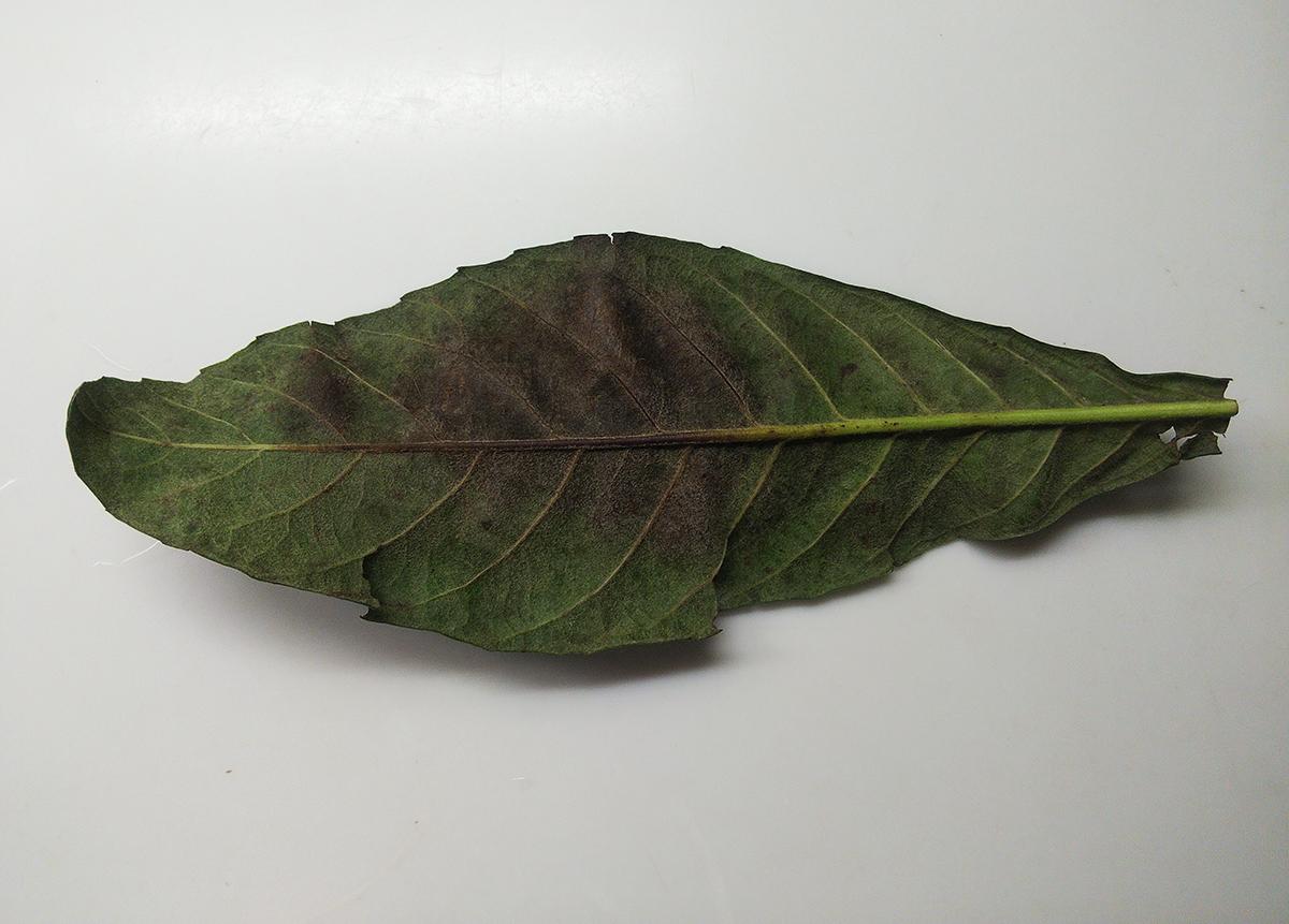 毒素を吸った枇杷の葉