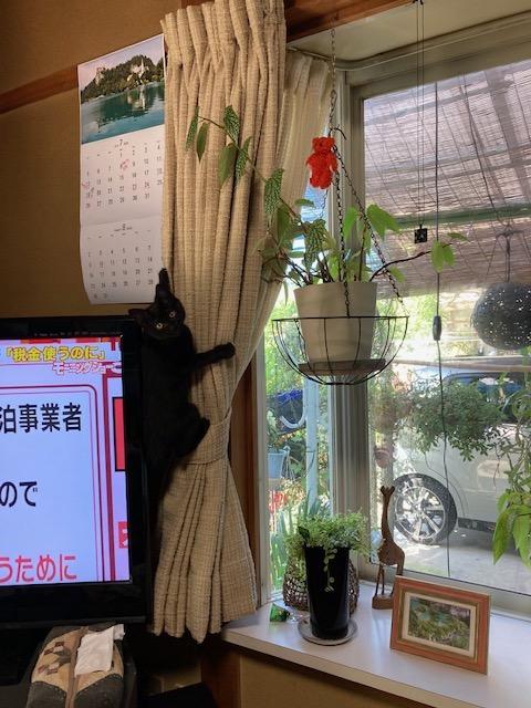 吊るしてある観葉植物を狙ってカーテンを登る猫