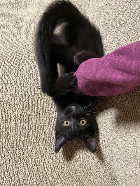 服の袖にじゃれる猫