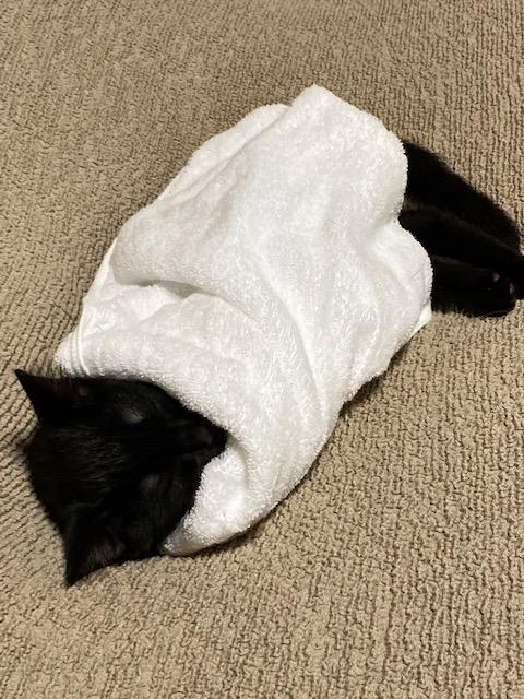 冷房が寒くてタオルにくるまる猫