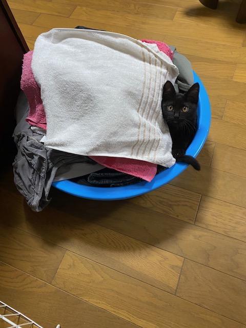 取り入れた洗濯物のタオルにもぐりこむ猫
