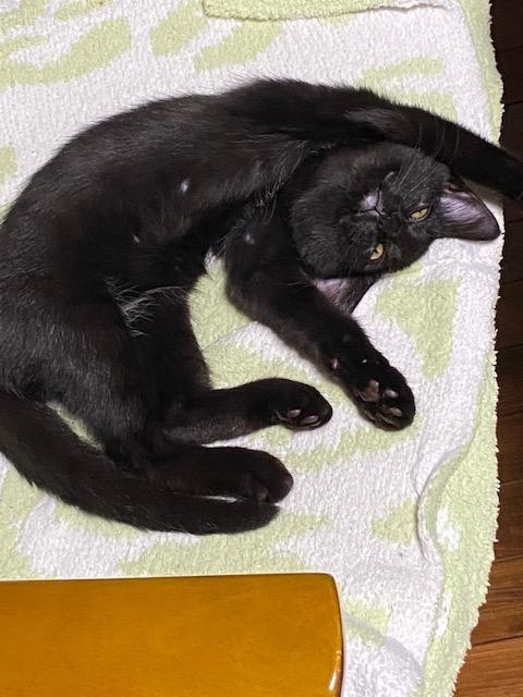 タオルの上に転がって伸びをする猫