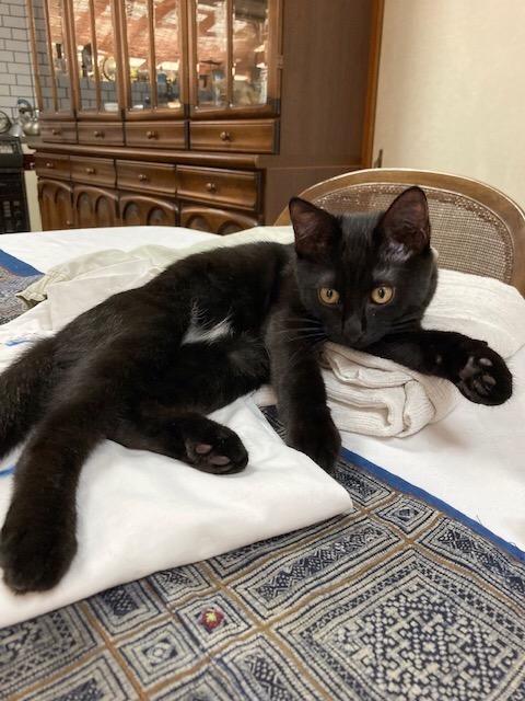 洗濯物たたみを手伝う?猫