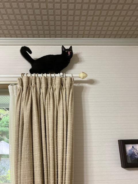 カーテンレールの上に登る猫
