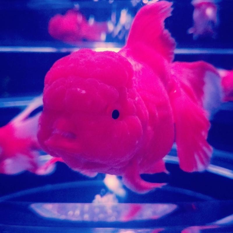 らんちゅうと思しき金魚