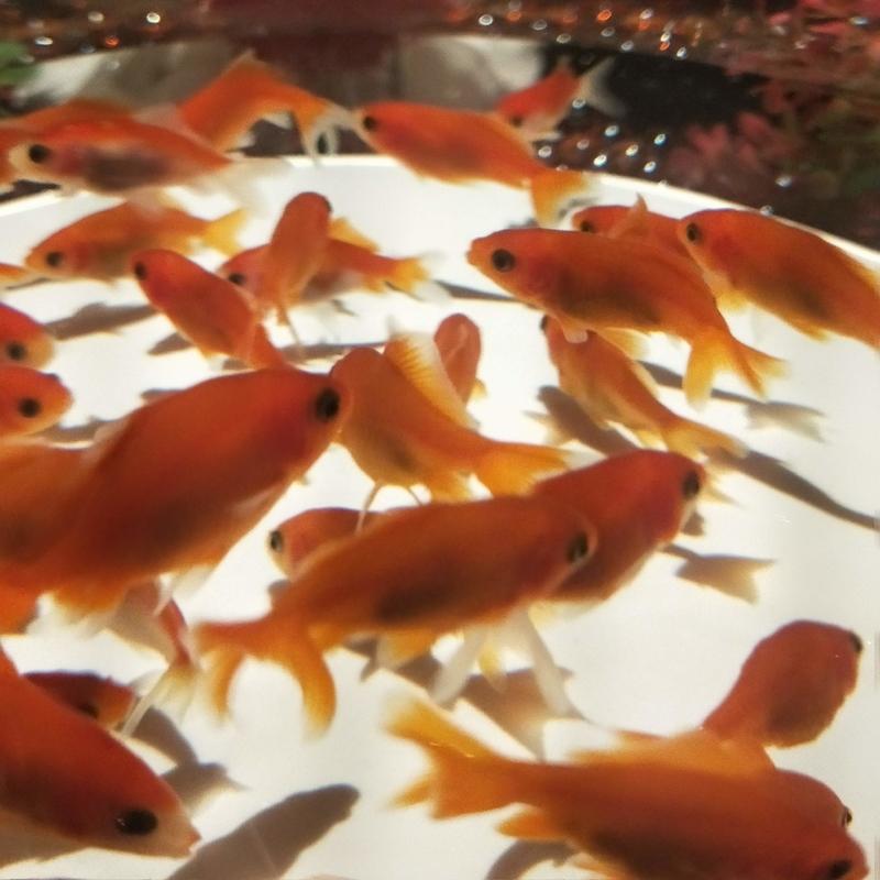 オーソドックスな赤い金魚