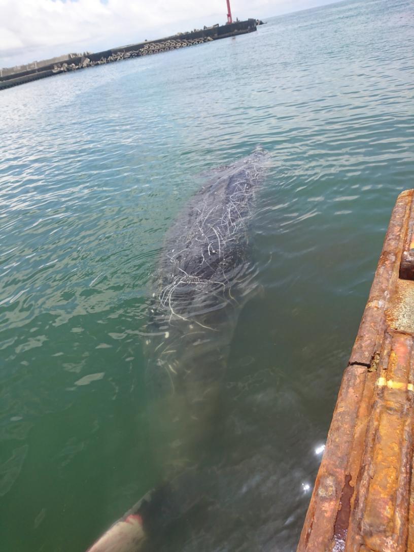 これから解体されるクジラ