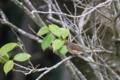 ルリビタキ(♂幼鳥)