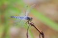 粉吹蜻蛉(♂)