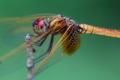 紅蜻蛉(未成熟♂)